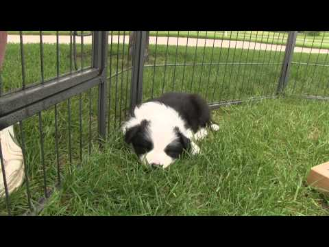 First Puppy Visit to Emerald Border Collies
