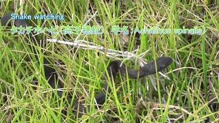 タカチホヘビ(高千穂蛇)、学名:Achalinus spinalis)