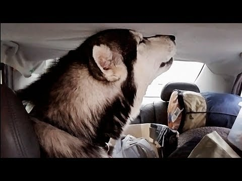 Malamute Singing The BLUES! He doesn't want to leave the Mountains!! Episode 35