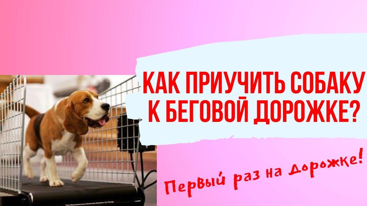 Как приучить маленькую собаку к беговой дорожке? Первый раз на беговой дорожке