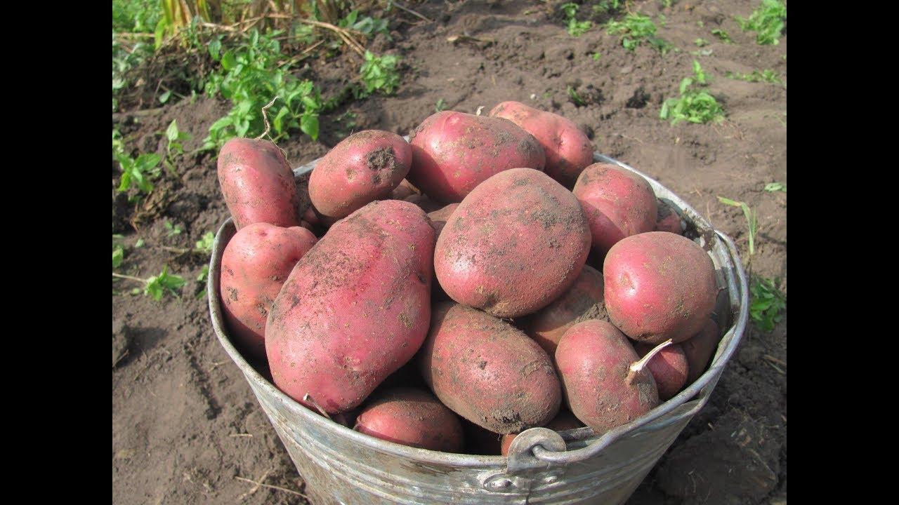 Как повысить урожай картофеля