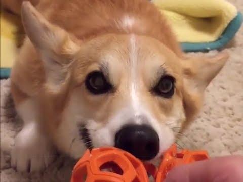 可愛い、おもしろい犬コーギーの動画④。