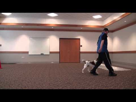 Hunter (Brittany Spaniel) Boot Camp Dog Training Video