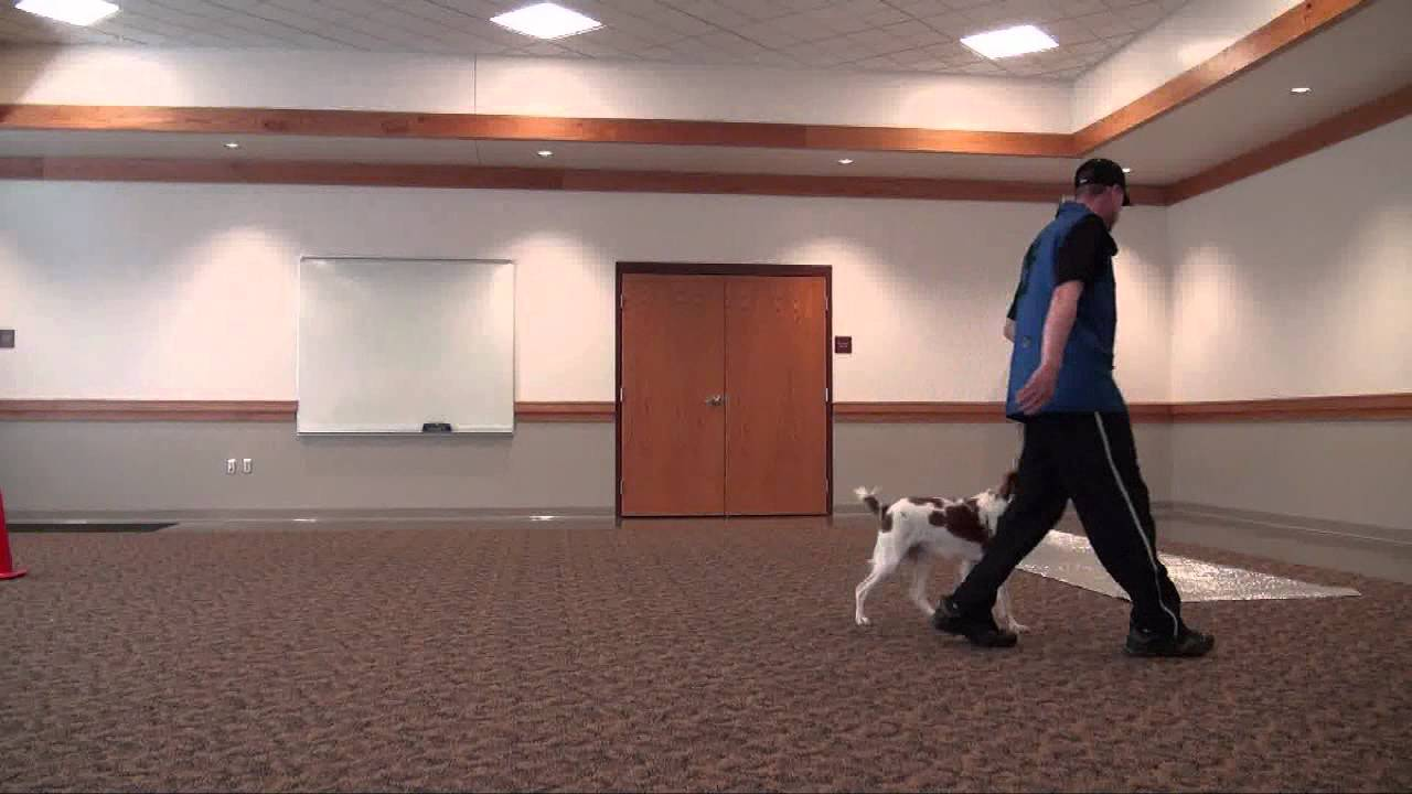 Hunter Brittany Spaniel Boot Camp Dog Training Video