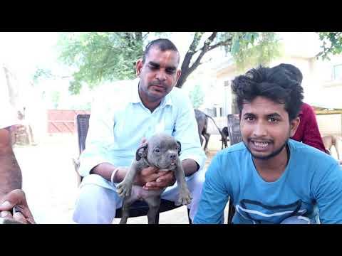 Cheapest Dog Market In In Delhi Pitbull American Bully Youtube