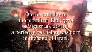 פרה אדומה חדשה נולדה בא' אלול