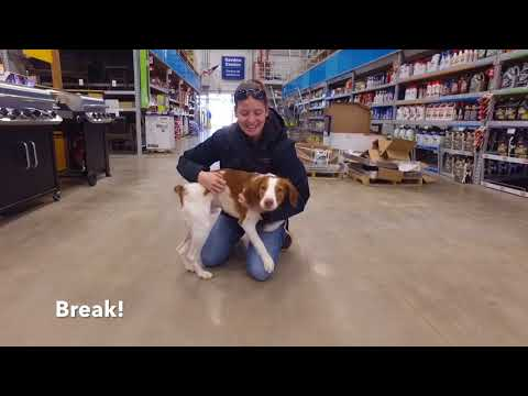 Best Dog Training in Columbus, Ohio! 7 Month Old Brittany Spaniel, Walt!