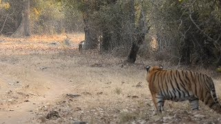Male tiger spots an intruder in his territory.