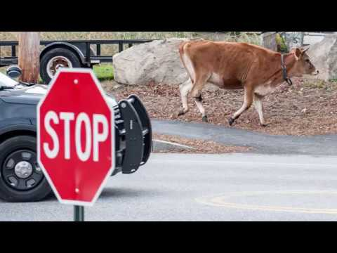 Cow on the loose in Auburn, Maine