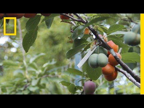 This Crazy Tree Grows 40 Kinds of Fruit | National Geographic