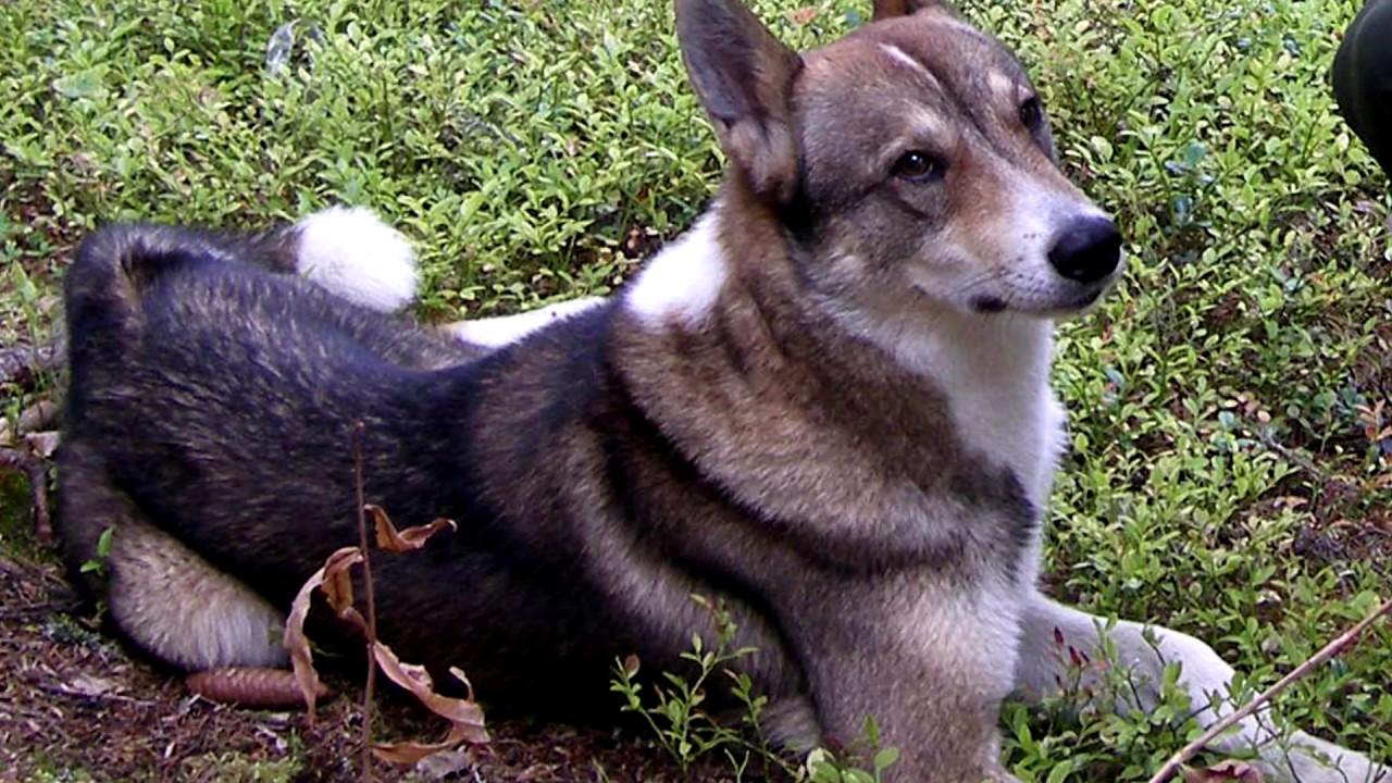 Порода собак. Восточно сибирская лайка.Редчайшая порода собак