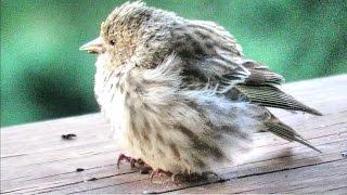 Sick Pine Siskins - Bird Salmonella