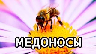 видео Татарский клен описание применение фото