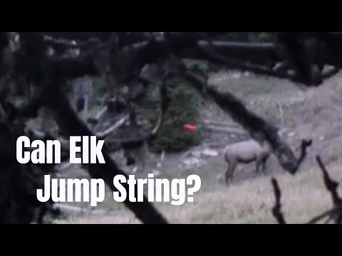 Can Elk Jump String