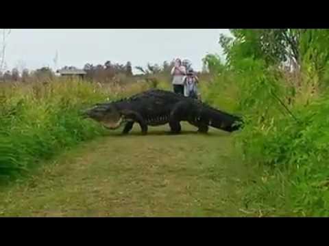 Гигантского крокодила сняли на камеру во Флориде  Видео