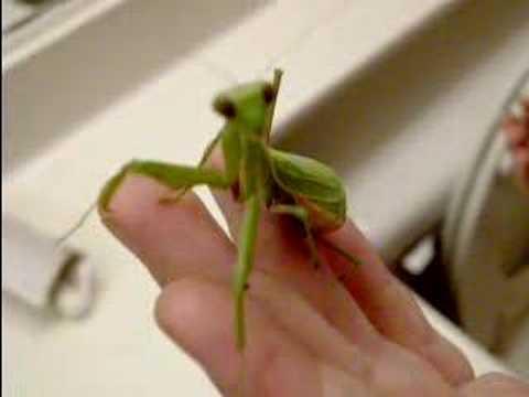 Sick Praying Mantis Youtube