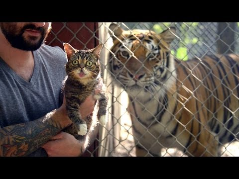 Even Tigers Adore Internet Sen is listed (or ranked) 1 on the list 23 Adorable Videos of House Cats Meeting Big Cats