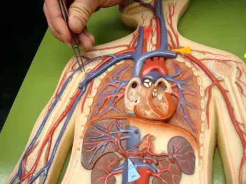 Arteries & Veins of Man Model