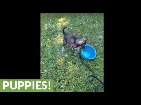 Puppy flips over full water bowl, adorably realizes her mistake