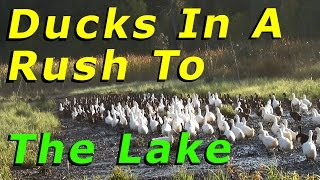 Muscovy Duck Flew From The Yard To The Lake #52 Raising Free Range Ducks