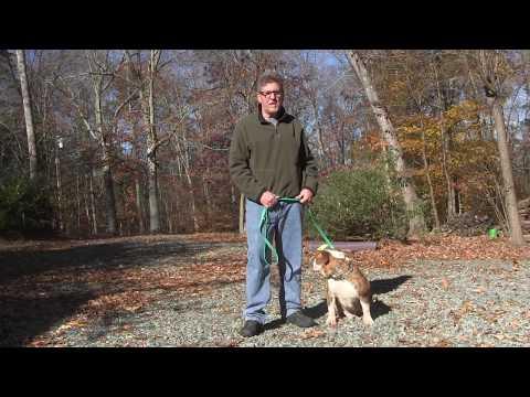 English Bulldog Puppy Training | Winston Salem NC | Bam Bam