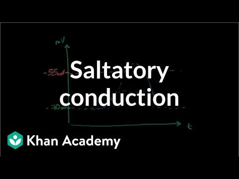 Saltatory conduction in neurons | Human anatomy and physiology | Health & Medicine | Khan Academy