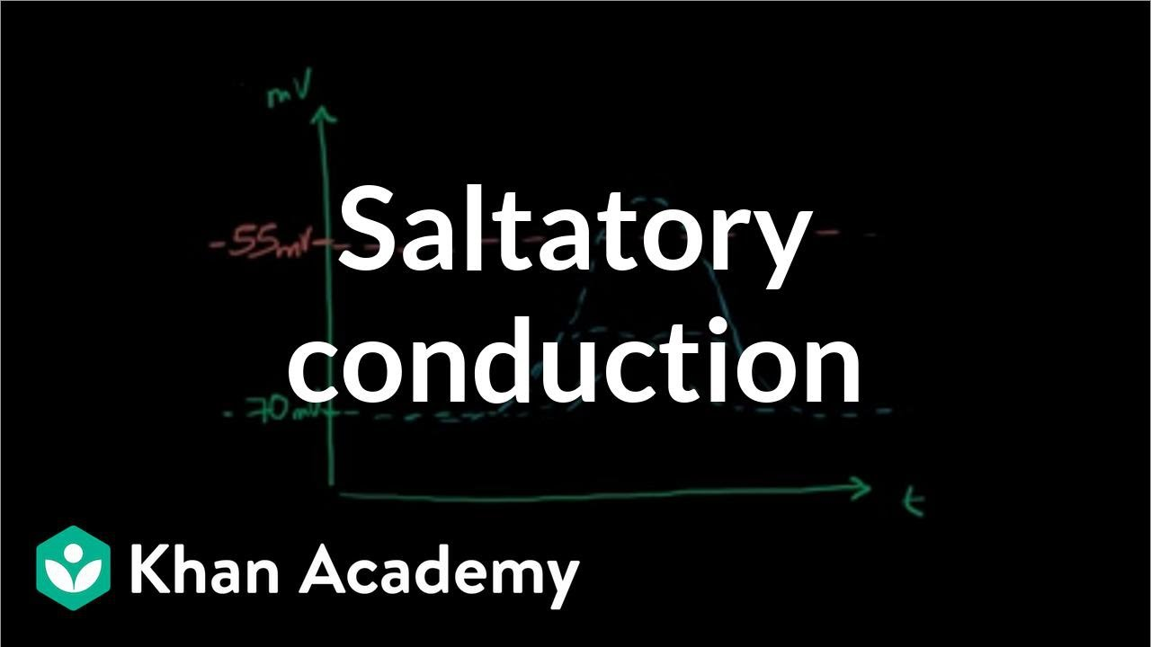 Saltatory conduction in neurons | Human anatomy and physiology ...