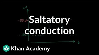 Saltatory conduction in neurons