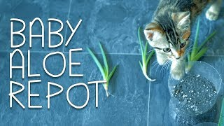 Video Baby Aloe Vera Repot + DIY Plant Pots download MP3, 3GP, MP4, WEBM, AVI, FLV Juli 2018