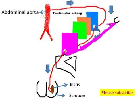Inguinal canal :easy and brief discussion with memorization tips