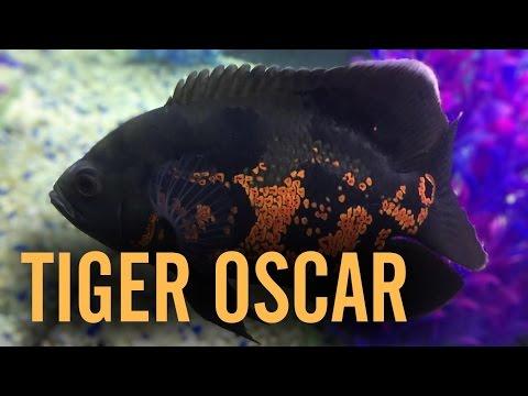 Red Tiger Oscar Cichlid