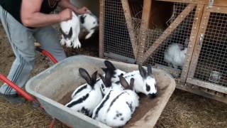Пересадка кроликов в вольер