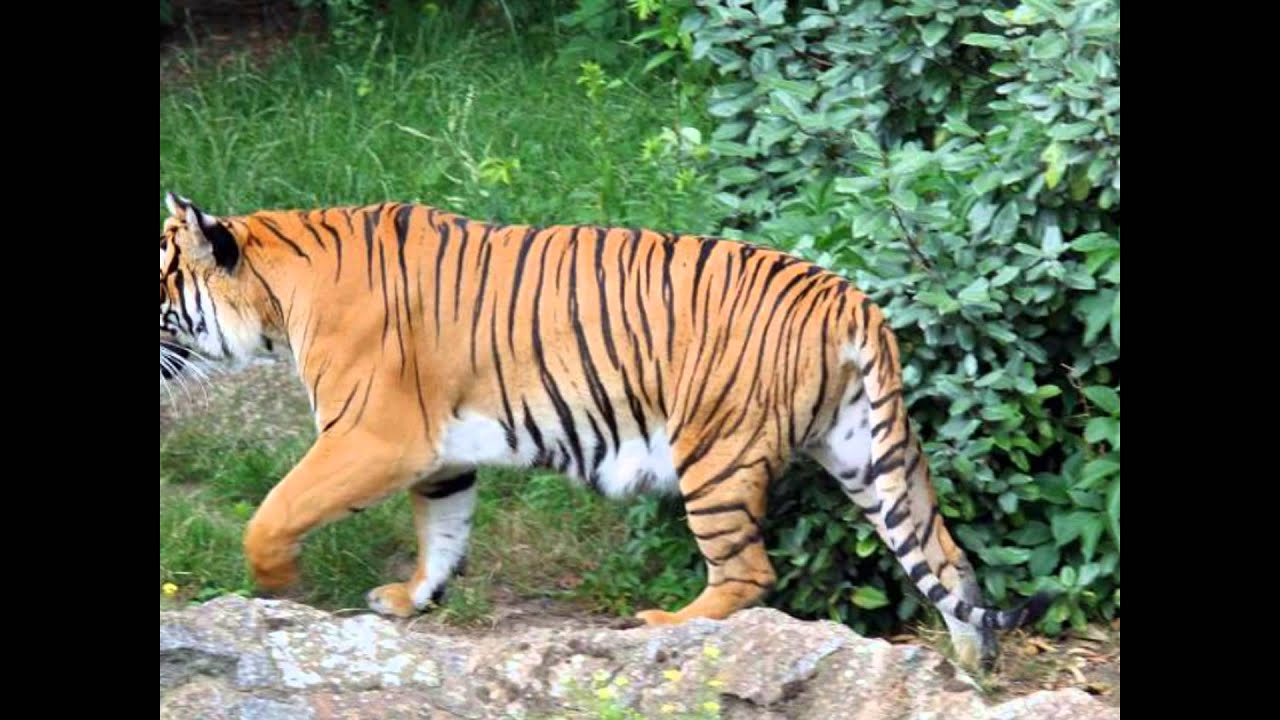 different type of tiger live in the world