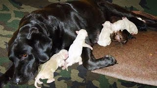 Available Labrador Retrievers Puppies Newborn 2014 In Egypt