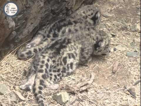 Wild Snow Leopard Cubs