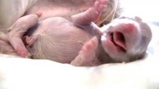 Puppy Born Feet First! (breech Birth)