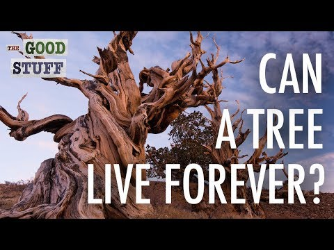 Can a Tree Live Forever?