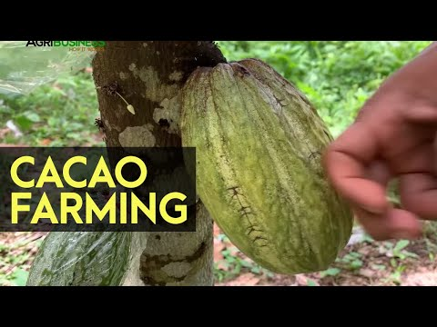 CACAO FARMING: Native Cacao is Better than Hybrid Variety