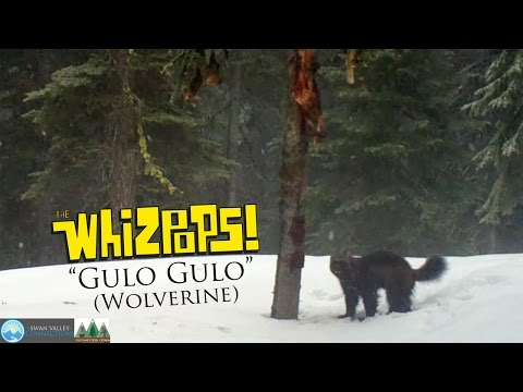 Gulo Gulo (Wolverine Song) by The Whizpops!