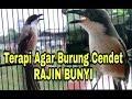 Terapi Cara Agar Burung Cendet Rajin Bunyi Nyecret(.mp3 .mp4) Mp3 - Mp4 Download