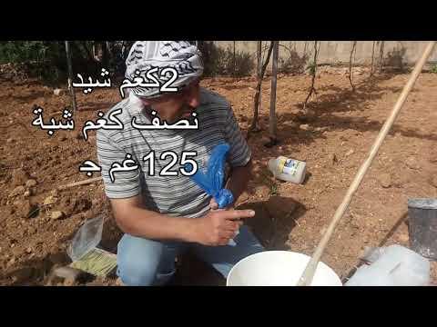 طلاء شجرة العنب بالشيد We paint the vineyard trees with lime