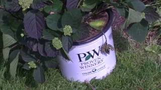 Planting Hydrangea