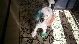 Multi Color Dyed Poodle - Clown Colors