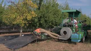 Récolte et transformation de la prune à Monteton