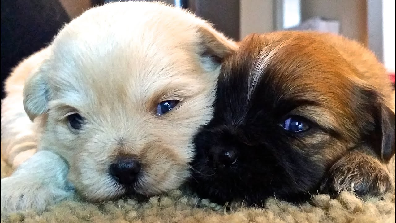 pekingese and shih tzu shih tzu pekingese puppies youtube 9256