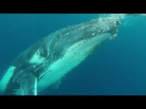 Humpback Whale Encounter Tonga