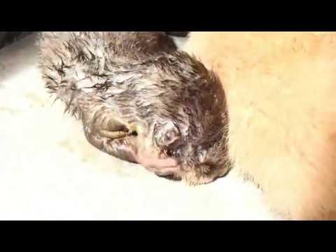Rái Cá Bắt Chước Chó Ngủ Phơi Nắng - Tiun