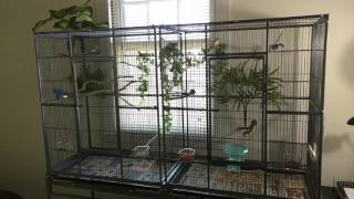 Society finches enjoying new cage