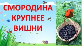 КРУПНОПЛОДНАЯ ЧЕРНАЯ  СМОРОДИНА / ОБЗОР ЛУЧШИХ СОРТОВ
