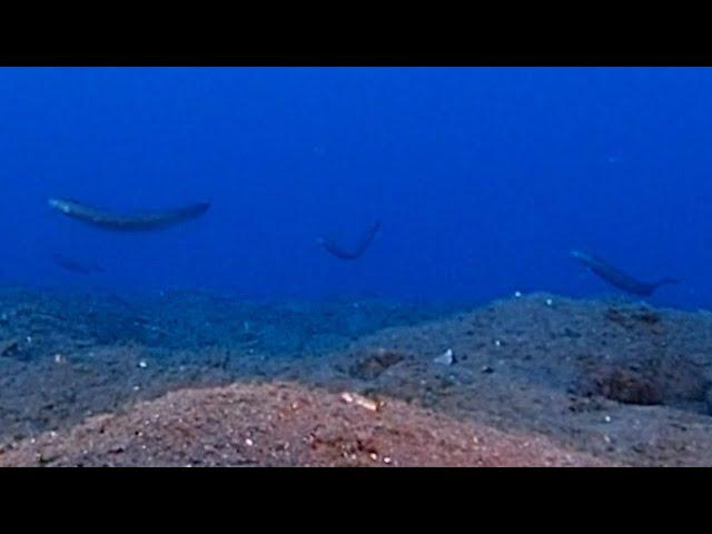 「面白い魚がいる」 海底を訪ねると…赤いリボンの舞が